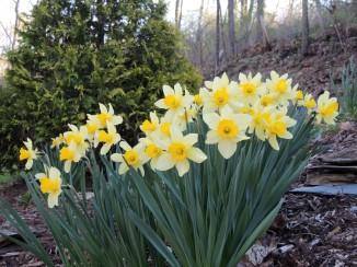 Daffodils on bank