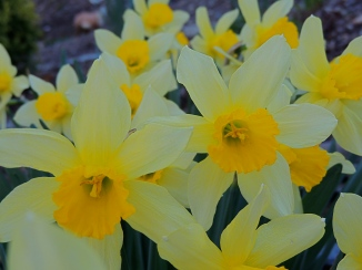Daffodils rescued from a local cemetery