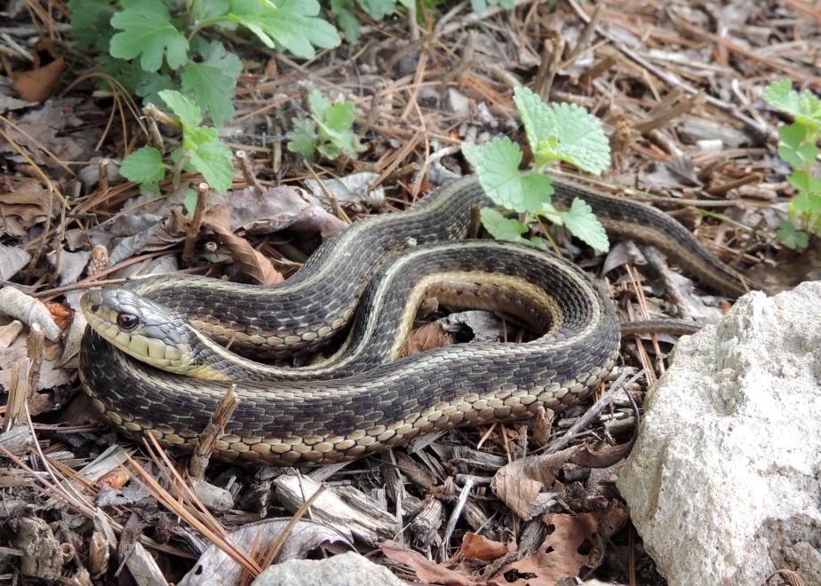 Common Garter Snake 1