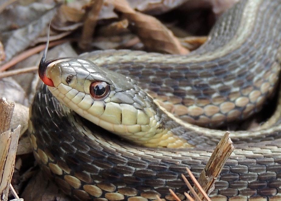 Connon Gartewr Snake 5