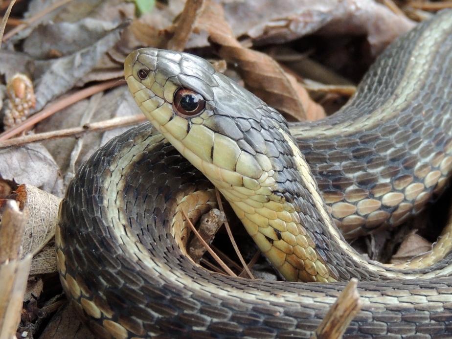 Common Garter Snake 2