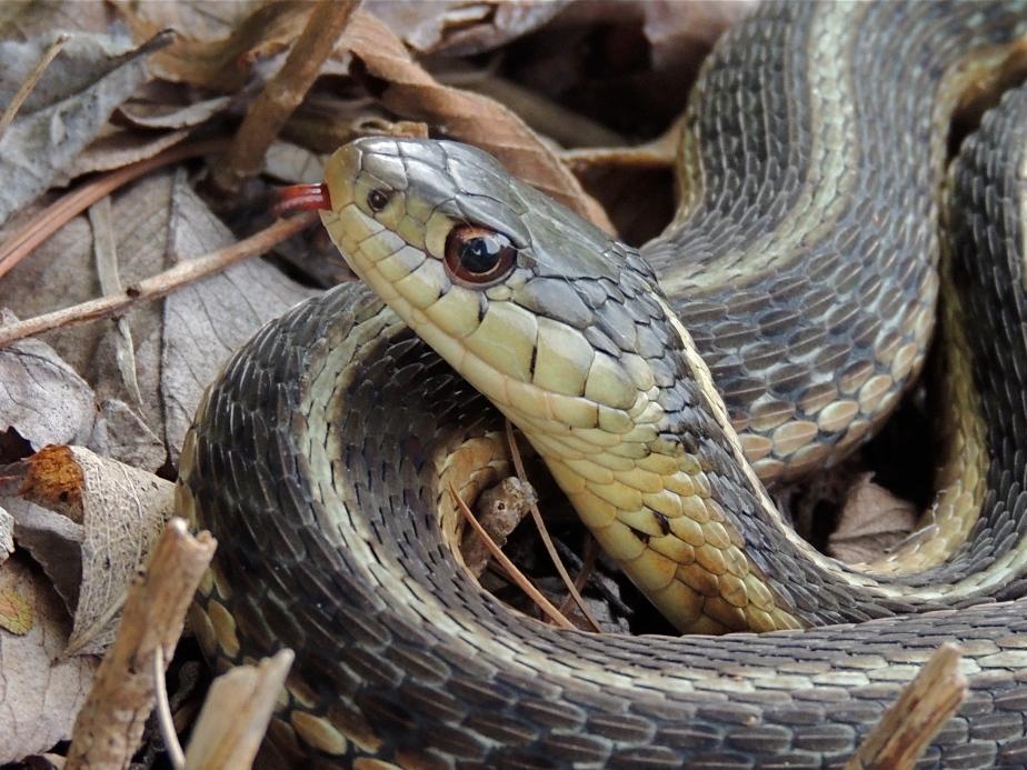 Common Garter Snake 3