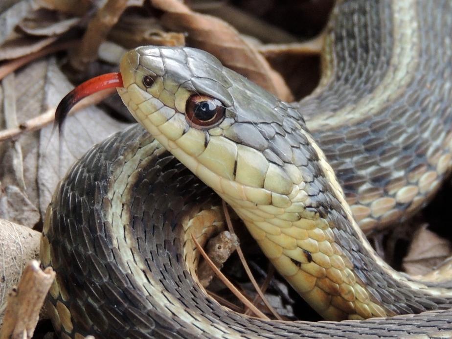 Common Garter Snake 4