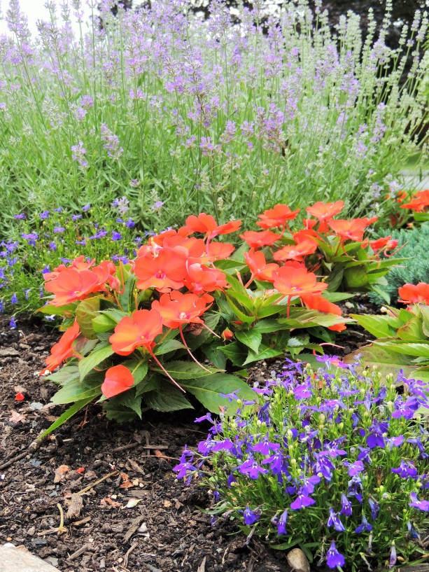 Lavender, New Guinea Impatiens and Lobelia