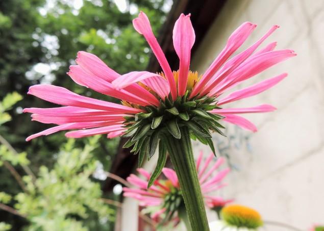 Cone Flower - Echinacea