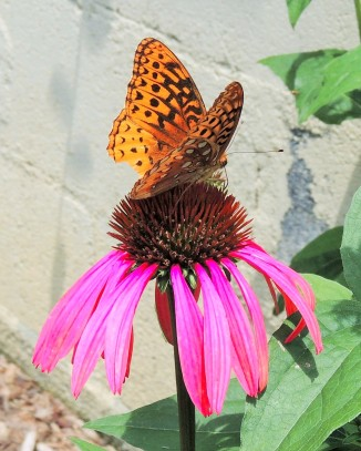 Cone Flower - Echinacea and the Great Spangled Fritillary