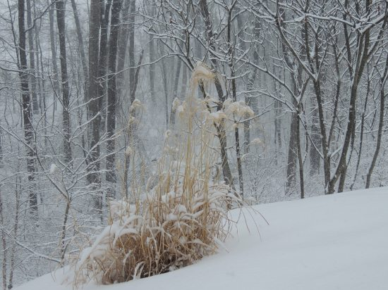 Pampas grass crumpling under the weight of the snow