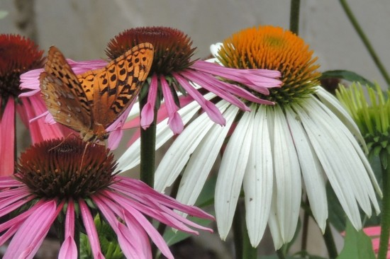 Great Spangled Fritillary drinking nectar from self-seeded echinacea plants