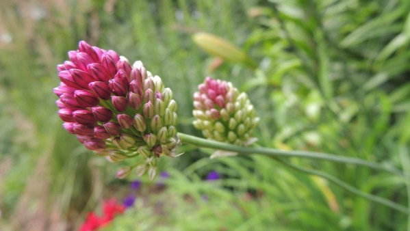 Drum stick allium