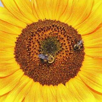 Sunflower and bees 2