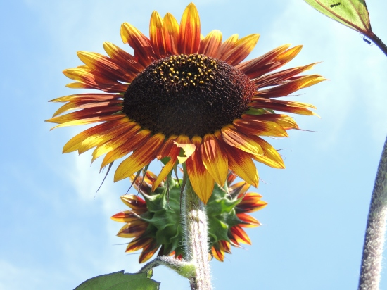Sunflower reaching toward the sky