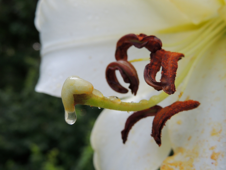 Oriental lily close-up