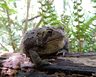 Ameerican Toad