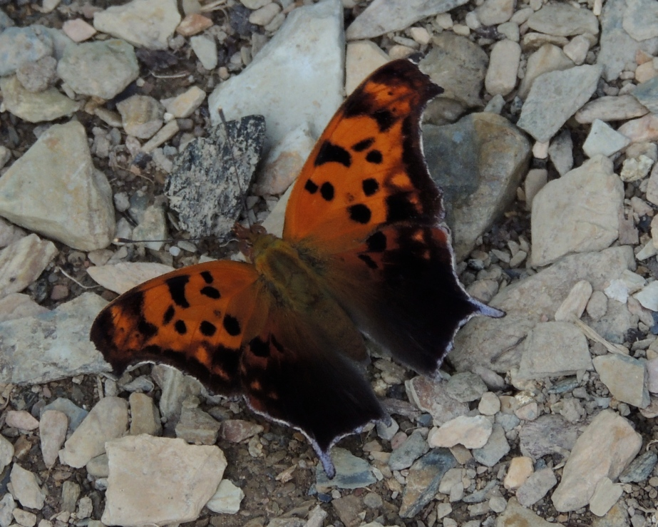 The Question Mark (Polygonia interrogationis) is a North American nymphalid butterfly