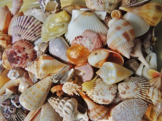 Gulf coast sea shells