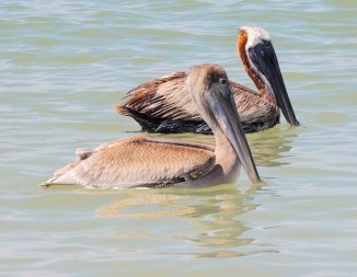 Pair of Brown Pelicans