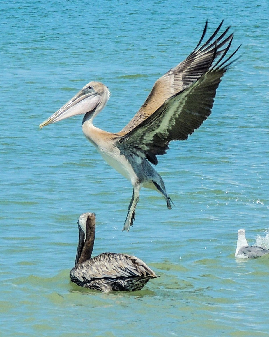 The Pelican in the Gulf