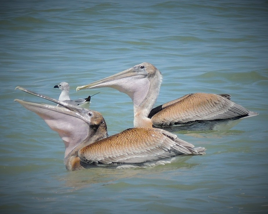 Brown Pelican feeding
