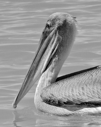 Brown Pelican in black and white