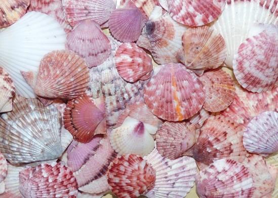 http://www.shellmuseum.org/shells/southwest-florida-shells/argopecten-gibbus