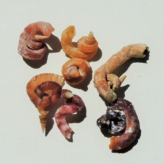 Florida Worm Snail