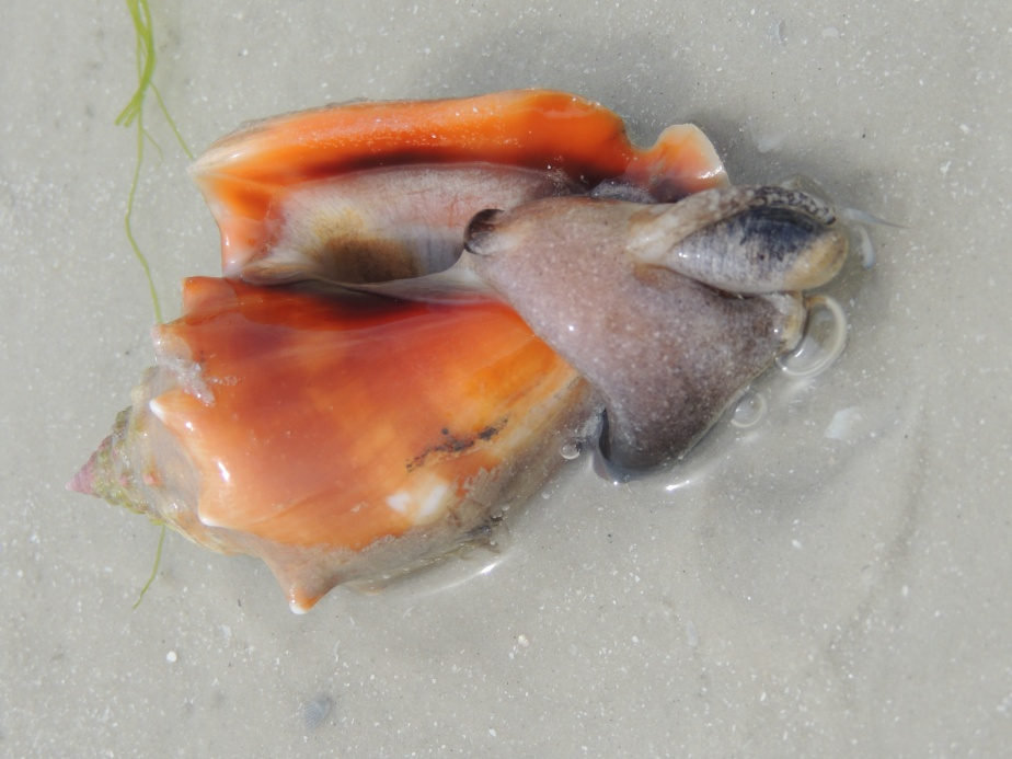 Florida Fighting Conch trying to turn itself over, Fort Myers Beach