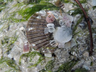 Scallop with barnicales Fort Myers Beach