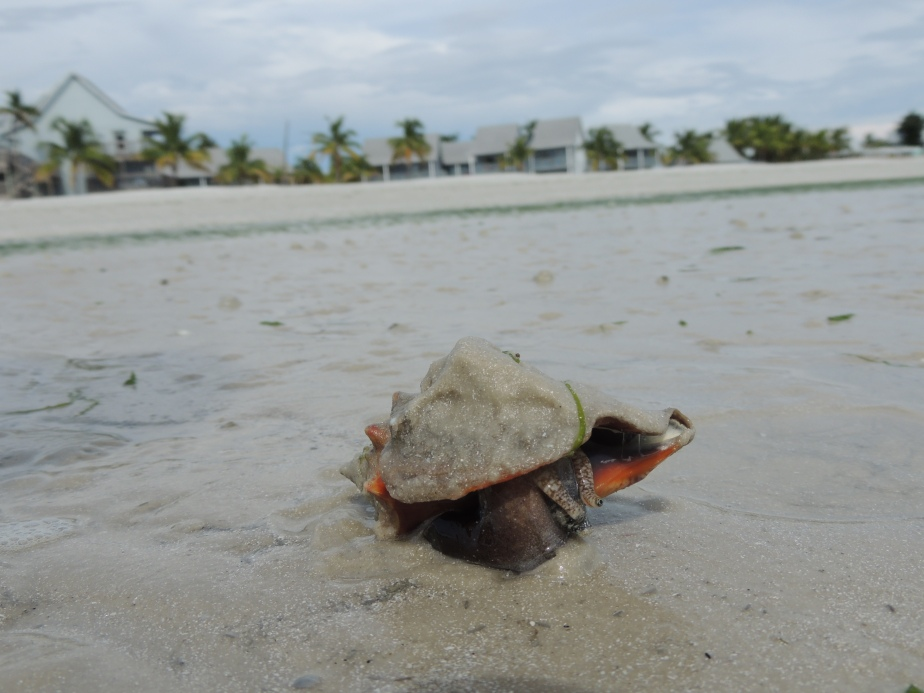 Florida Fighting Conch live shell on sand flats Fort Myers Beach