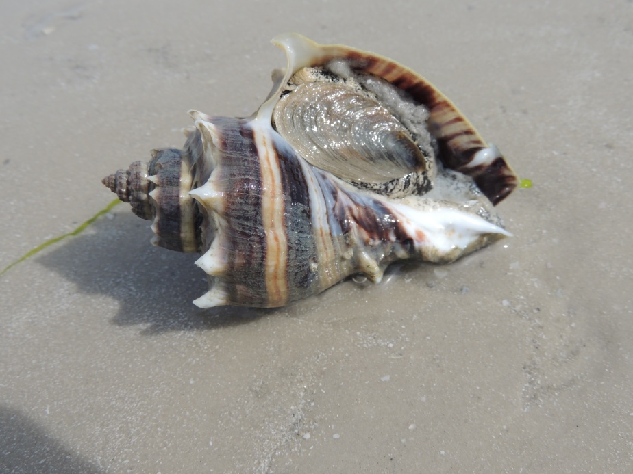 Crown Conch Fort Myers Beach