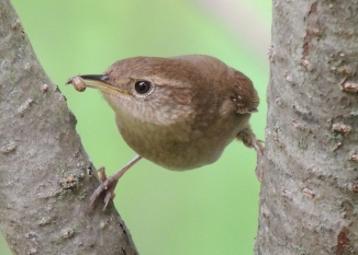 House Wren feeding young