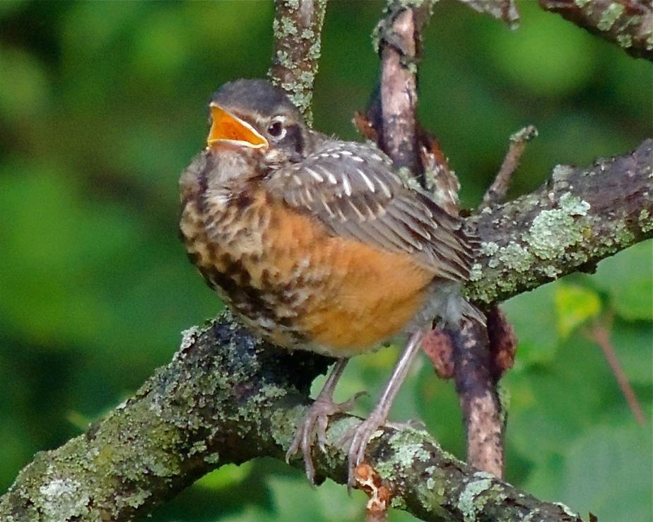 Ameerican Robin fledgling in sumac