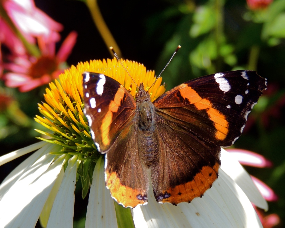 Red Admiral on white echinacea flower