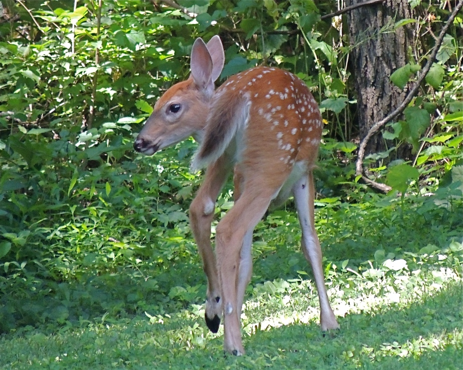 Whitetail deer fawn grazing behind the barn
