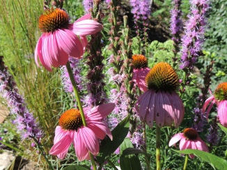 Echinacea and Liatris