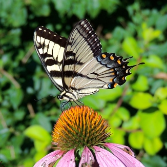 Tiger Swallowtail on Echinacea