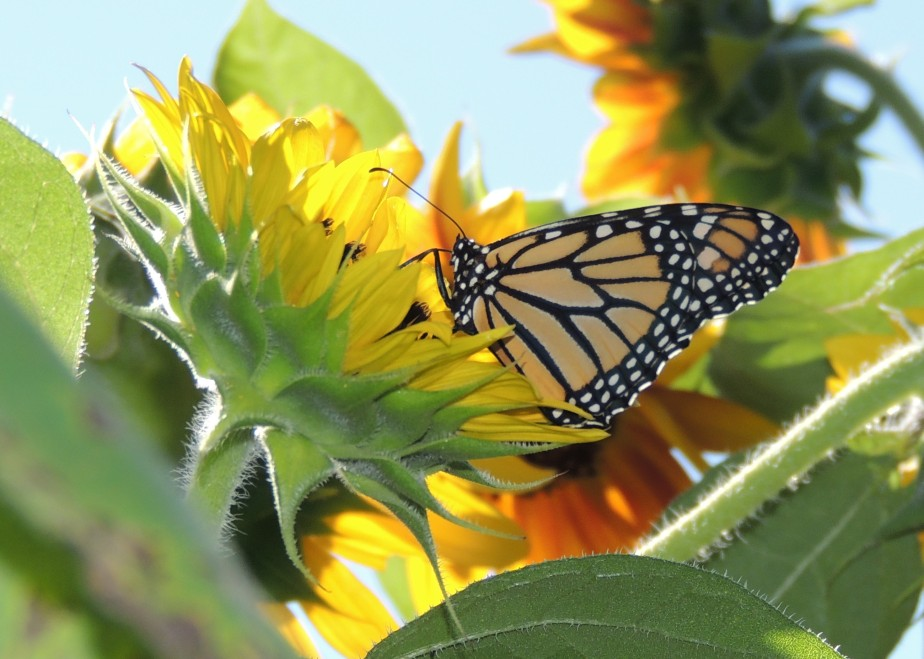 Monarch and the sunflower