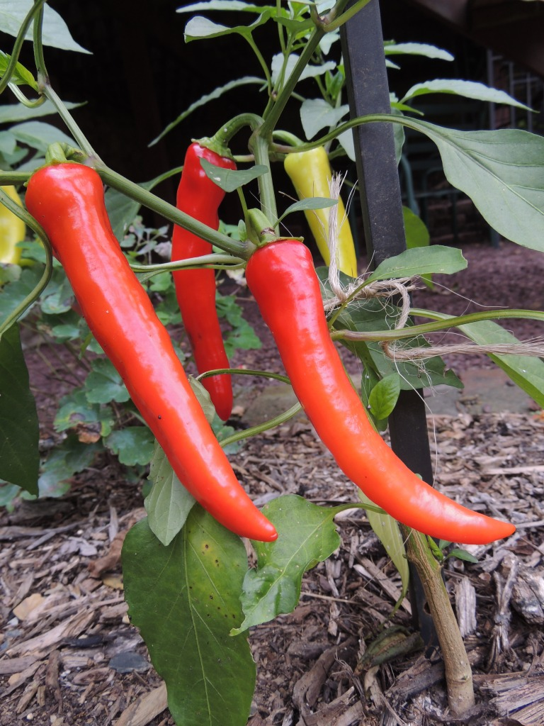 These pepper plants were found growing in the compost pile and transplanted into a new garden area.