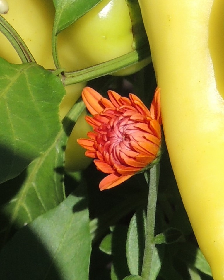 chrysanthemum flower and sweet banana peppers