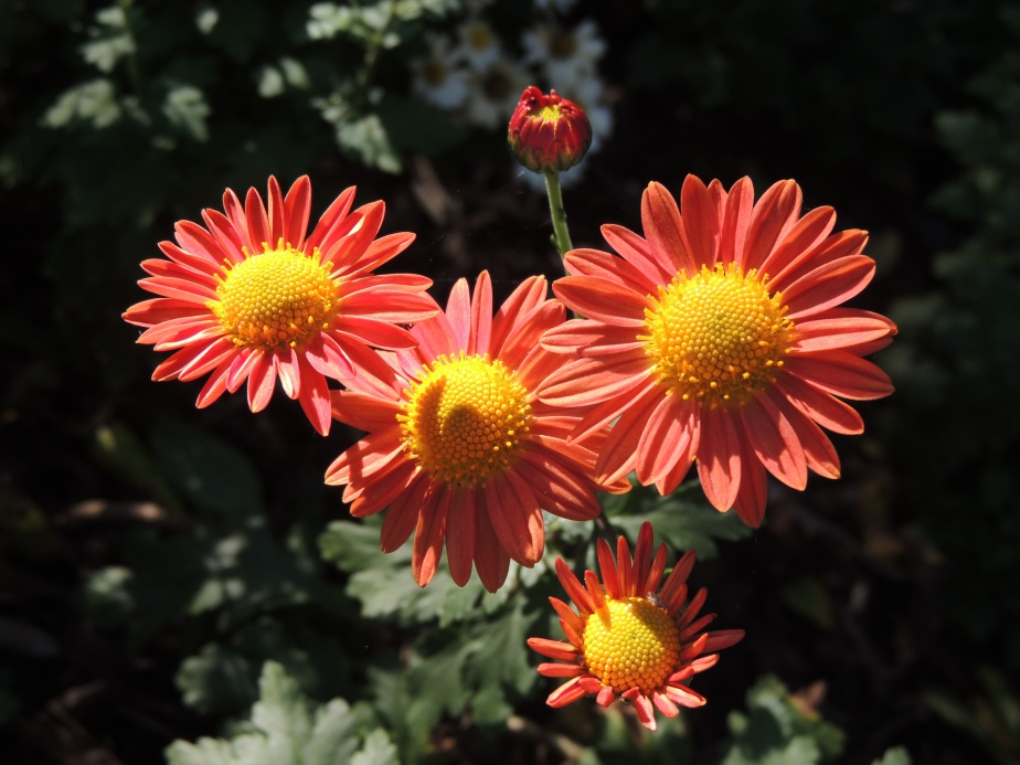 Self-seeded Daisy mum flowers