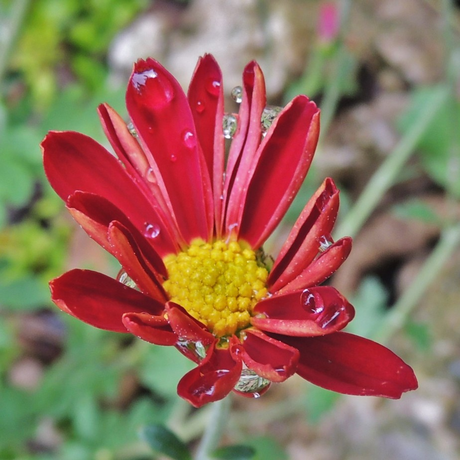 Red Daisy mum flower