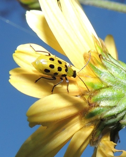 Spottted cucumber beetle on underside of Daisy mum