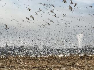 Ten thousand snow geese