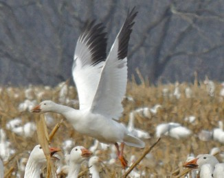 Single snow goose taking off