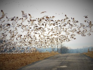 Snow geese flying over road
