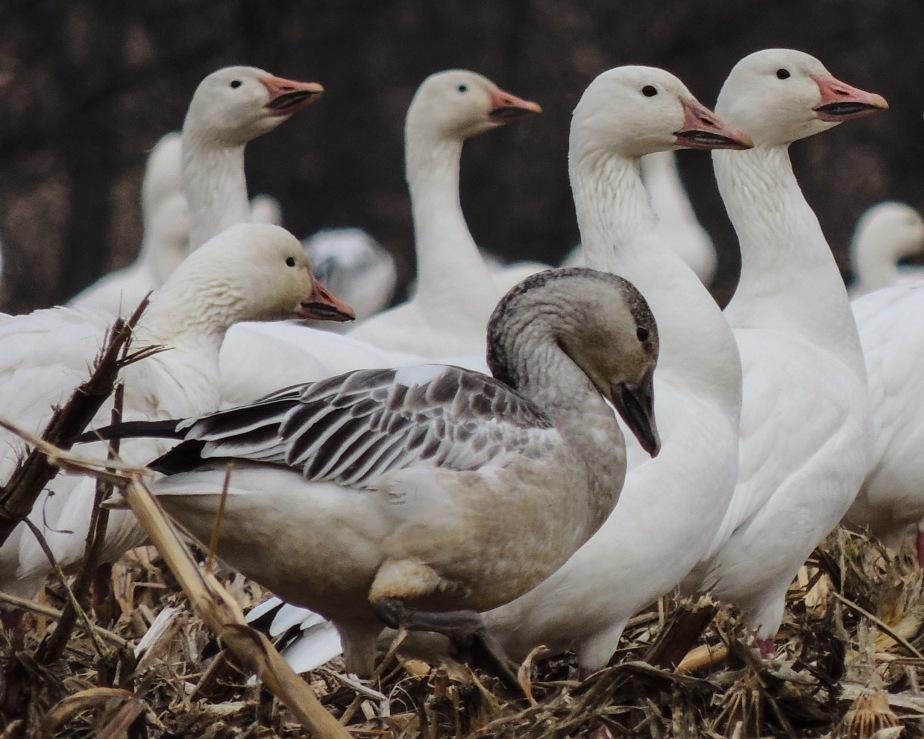 Individual grey snow goose