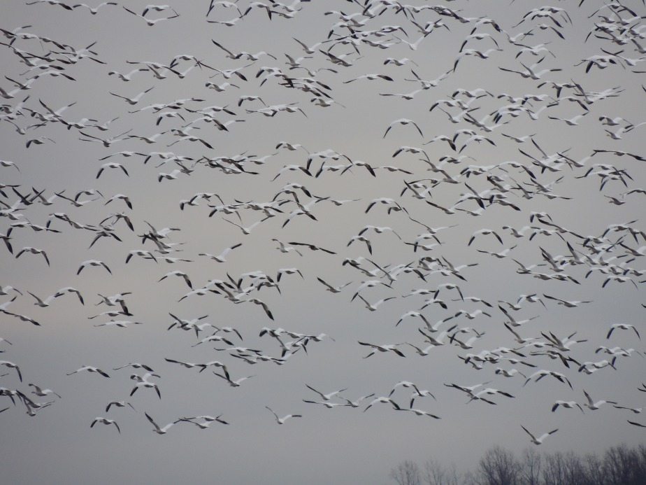 Snow geese in flight 2