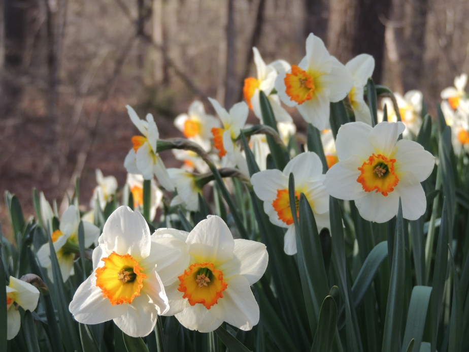 Daffodils near stream