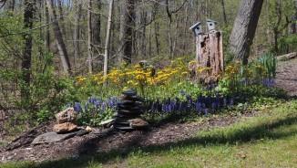 Newest garden Ragwort and Ajuga