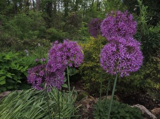 Alliums beside the stream in the lower gardens