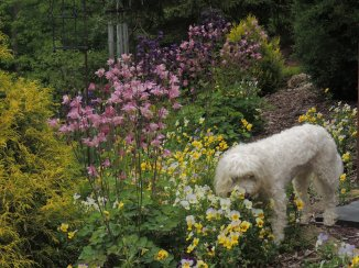 Maddie in the gardens, violas and columbines
